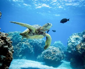 Underwater green turtle in the waters of greece swimming with fishes.