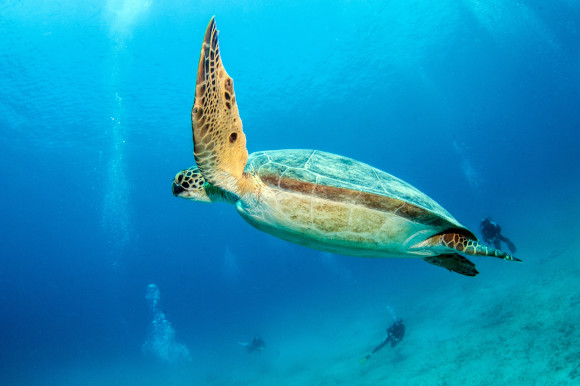 Large turtle swimming off the coast of Antalya among divers